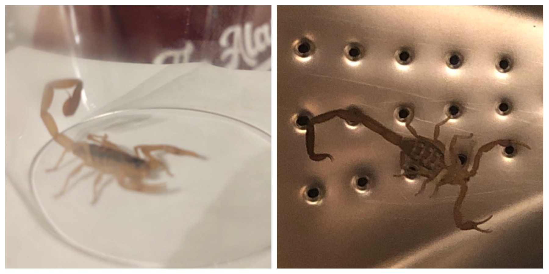 Photos of 2 scorpions. One on the left is alive and well, the one on the right has been through the wash and is dead.